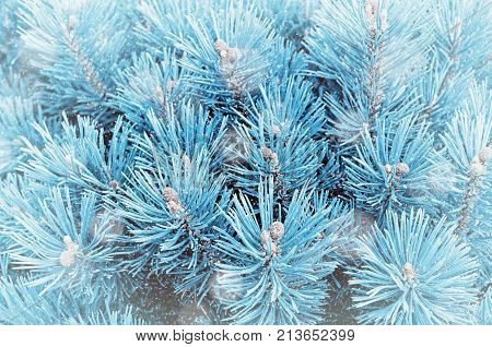 Winter background. Pine tree winter branches under winter snowfall, closeup winter nature. Winter background with falling snow, winter branches of blue pine tree. Winter nature