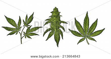 Marijuana mature plant with leaves and buds cannabis. Hand drawn design element. Vintage color vector engraving illustration for label poster web. Isolated on white background
