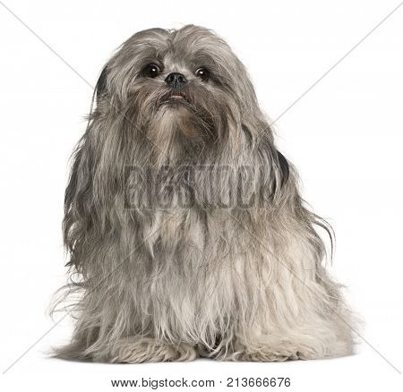 Lhasa apso, 2 years old, sitting in front of white background