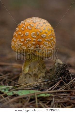 Fly Agaric, Amanita Muscaria, A Hallucinogenic Mushroom, Algonquin Provincial Park, Ontario