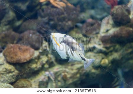 Closeup Of A Lagoon Triggerfish In Aquarium Environment