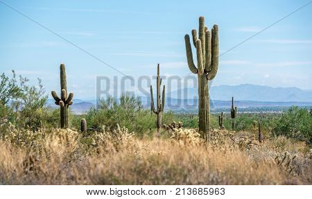 Grove of Saguaro cactus on a hot morning in the white tank mountains in Arizona with mountains on the horizon