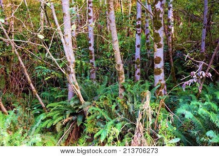 Alder Trees surrounded by fern plants taken at a temperate forest in the Northern California Coast