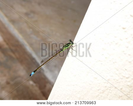 bluetip dragonfly - Ischnura senegalensis  -on a white wall