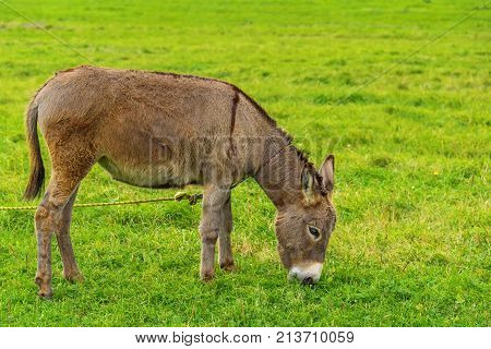 The Donkey Grazes On A Green Meadow In The Autumn Day.