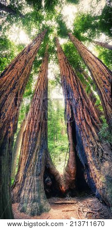 Redwoods trees in the national park in California - USA