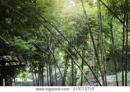Bamboo forest in tropical weather Thailand stock photo