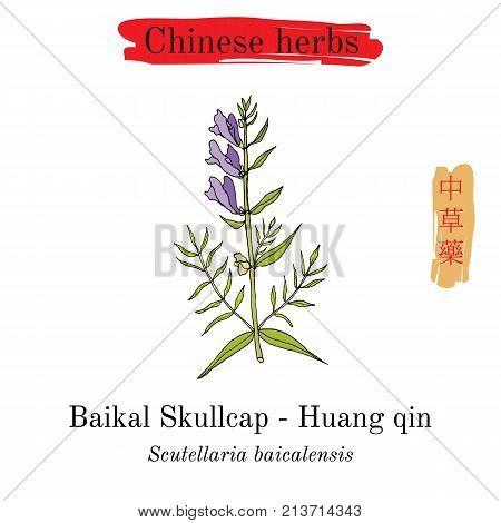 Medicinal herbs of China. Baikal skullcap scutellaria baicalensis . Hieroglyph translation Chinese herbal medicine