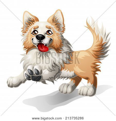 the cheerful puppy of a border collie light red with white runs forward