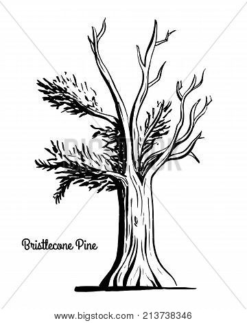 Vector sketch illustration. Black silhouette of Western Bristlecone Pine isolated on white background. Drawing of evergreen coniferous plant, Nevada state tree.