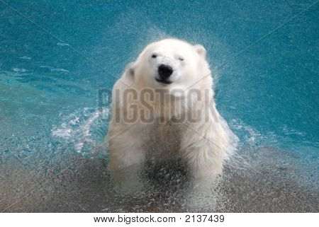 Shaking Polar Bear In Water 2