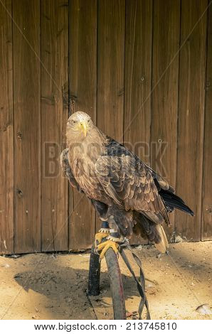 A wounded eagle observing the rush around him.