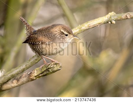 Little wren sits on a tree branch in front of blurred background