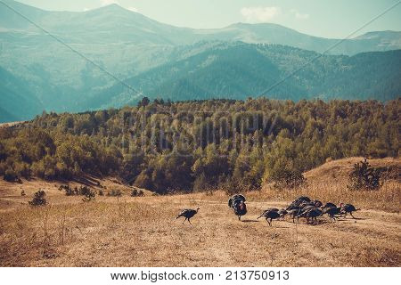 In vastness of Tusheti. Travel to Georgia country. Mountain landscape. Flock of turkeys. Green ecology tourism. Thanksgiving concept. Countryside nature. Wild birds. Copy space. Eco trekking tour