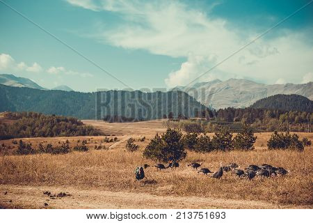 In vastness of Tusheti. Travel to Georgia country. Mount landscape. Flock of turkeys. Green ecology tourism. Thanksgiving concept. Countryside nature. Wild birds. Eco trekking tour. Space for text