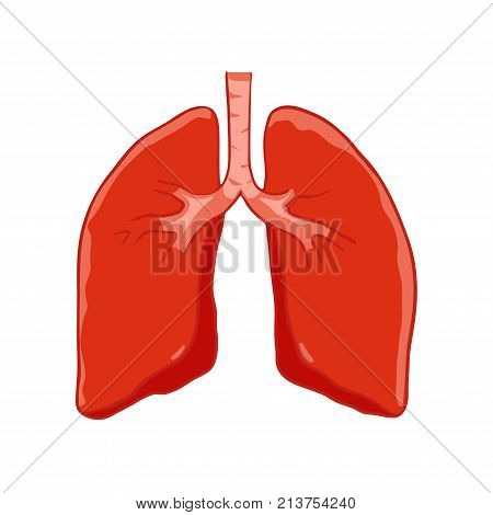 Vector Human lungs front view. Right and left lung with trachea. Healthy lung.
