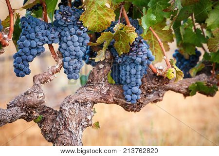 Cabernet Franc grapes growing on a beautifully gnarled old vine, warm background blur