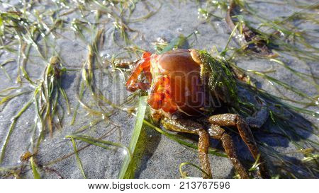 Northern Kelp Crab, Spider Crab, Shield Back Crab ( Pugettia Producta ) Changing Its Shell On A Sand