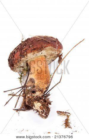 Xerocomus Badius  Mushroom Isolated On White