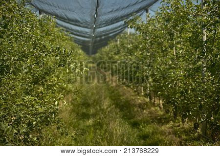 Inside The Apple Orchard