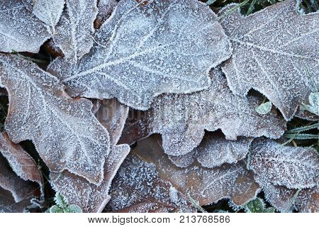 Frost Ice On Forest Oak Leaves. Shining Frosted Leafs Surface. Natural Floral Pattern Background. Ma