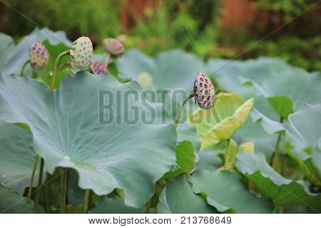 Green Lotus Leaf In Garden At Rain Day