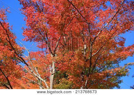Colorful Maple Leaf Background In Autumn, Osaka Japan