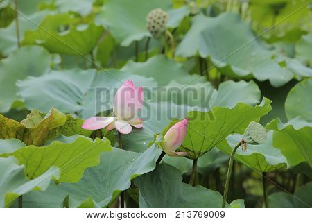 Lotus Bloom In The Pond At Rain Day