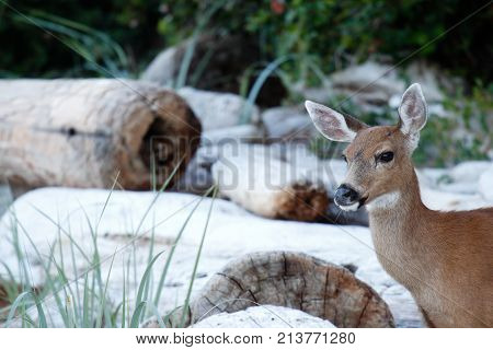 Young Deer On A Beach.