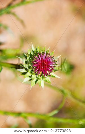 Bright pink flower of the medicinal plant thistle (prickly, Marin Tartar, silver tartar) on the green stalk. The bud is ready to dissolve. Macro - close-up, background is green-brown - blurred.