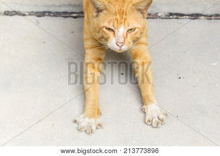 Siam Cat yellow beautiful color play on the ground. Orange cat animal on the park.
