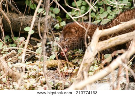 American Mink (mustela Vison) Eating Freshly Caught Food In The Undergrove
