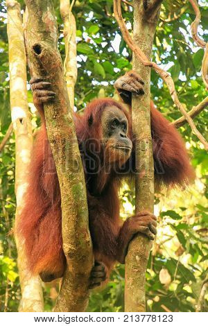 Female Sumatran Orangutan Sitting In A Tree In Gunung Leuser National Park, Sumatra, Indonesia