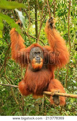 Male Sumatran Orangutan (pongo Abelii) Sitting On A Bamboo In Gunung Leuser National Park, Sumatra,