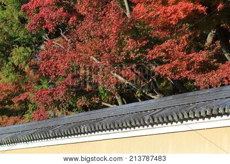 Japanese Maple Colored Leaves