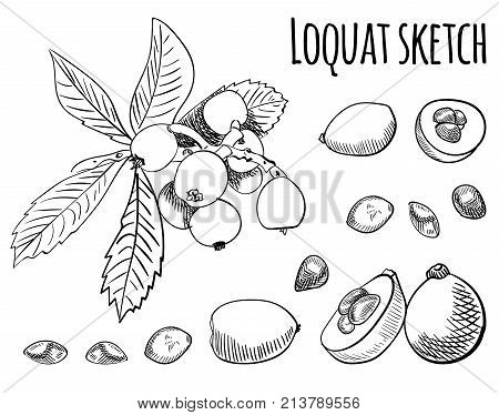 Loquat outline drawing isolated on white. VECTOR illustration. Black lines
