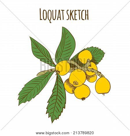Loquat colored sketch isolated on white. VECTOR illustrations isolated on white background,