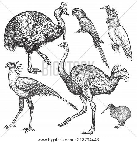 Ara parrot; ostrich Emu cassowary cockatoo bird kiwi and secretary isolated on white background set. Vintage engraving style. Vector illustration art. Object of nature naturalistic sketch.