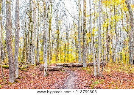 Empty trail path on yellow golden autumn hike with bare trees during cloudy overcast weather in Dolly Sods West Virginia with fall foliage fallen leaves and trunks logs poster