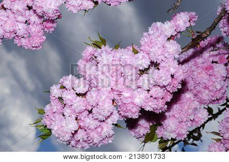 Gorgeous Sakura Spring Season Abundance Pink Color