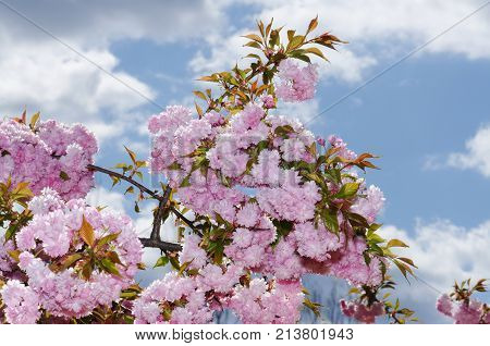 Sakura Spring Time Season Plant Branch Blue Sky