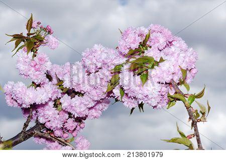 Spring Flowers Sakura Season Beauty Clouds Sky
