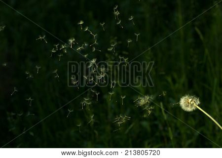 Dandelion Seeds In The Morning Sunlight Blowing Away Across A Fresh Green Background.