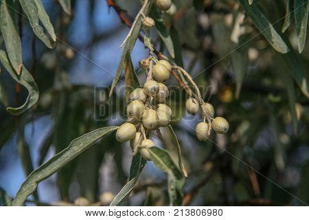 Loch Angustifolia (latin Elaegnus Angustifolia)