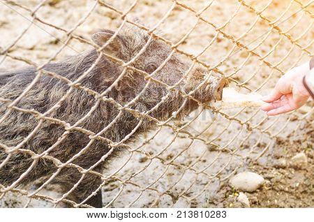 Young Wild Carpathian Boar In The Closed Territory Sniffs The Earth. Sus Scrofa Attila.
