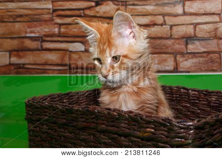 Small maine coon kitten is sitting in a wicker basket. Two month old.