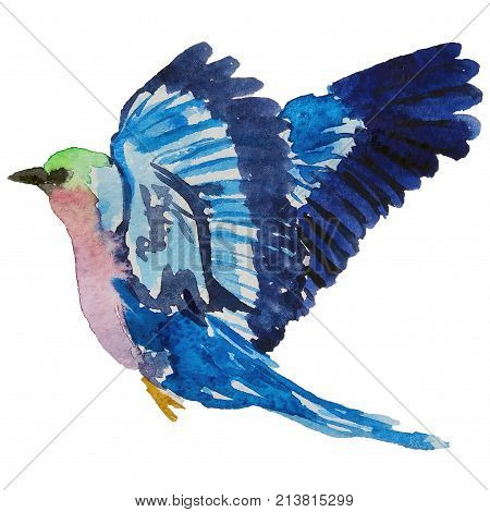 Hand drawn watercolor blue birds. Summer Tropical Illustration isolated on white background. Lilac Breasted Roller Bird