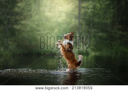 Dog border collie standing in the water on its hind legs