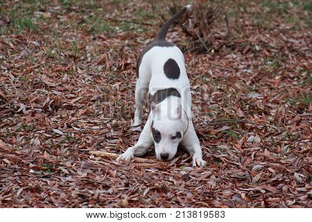 American staffordshire terrier puppy is frolicking on the autumn foliage. Six month old.