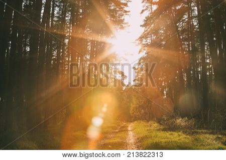 Sun Shining Over Forest Lane, Country Road, Path, Walkway Through Pine Forest. Sunset Sunrise In Summer Forest Trees.